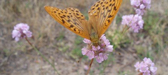 Webinaire Papillons de jour